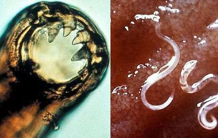 Hookworms Parasite