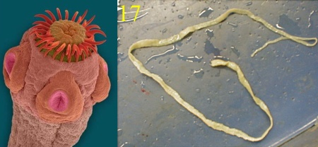 tapeworms Parasites