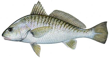 whiting or croaker