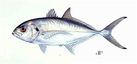 blue runner or bluefish