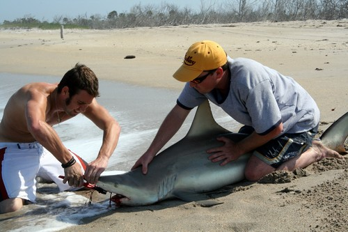 Cutting Leader to Release Blacktip Shark.