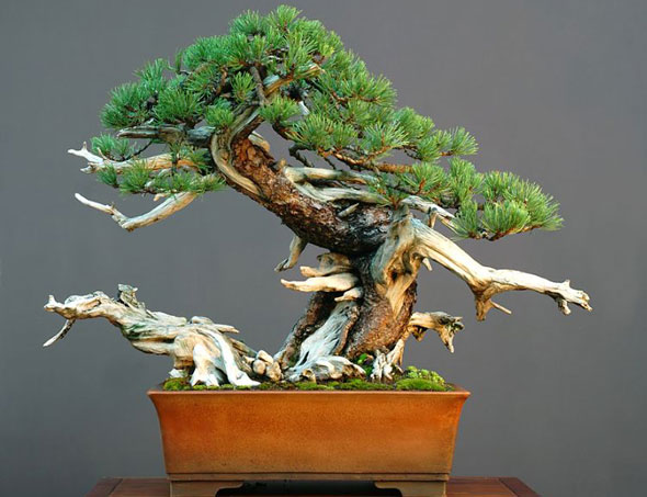 bonsai trees for beginners bought bonsai tree